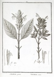 The line drawing shows 2 plants with elliptic leaves and terminal raceme of tubular flowers. Flora Peruviana vol.1, pl.IX, 1797.