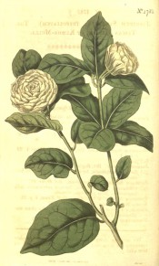 Figured are glossy ovate leaves and terminal, very double white flowers.  Curtis's Botanical Magazine t.1785, 1815.