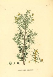 Illustrated are leaves, male cones and ripe fruits.  Saint-Hilaire Arb. pl.34, 1824.