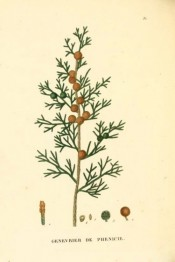 Illustrated are leaves and mature and immature cones.  Saint-Hilaire Arb. pl.35, 1824.