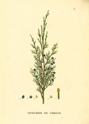 Figured is a shoot with leaves and ripe, dark blue fruit.  Saint-Hilaire Arb. pl.36, 1824.