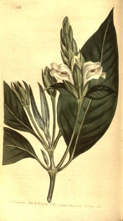Shown are elliptic leaves and tubular bell-shaped white flowers with purple markings.  Curtis's Botanical Magazine t.861, 1805.