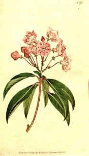 The image shows a shoot with glossy leaves and cluster of pink, saucer-shaped flowers.  Curtis's Botanical Magazine t.175, 1792.