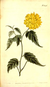 Figured are deeply toothed leaves and very double bright yellow flower.  Curtis's Botanical Magazine t.1296, 1810.