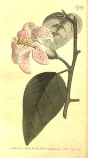Figured are lance-shaped leaves and a trumpet-shaped pink flower with darker spots.  Curtis's Botanical Magazine t.769, 1804.