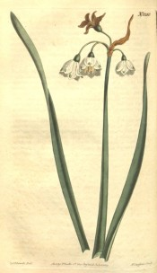 Shown are leaves and nodding, white, cup-shaped flowers with green apical spots.  Curtis's Botanical Magazine t.1210, 1809.