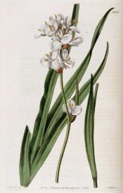 Illustrated are sword-shaped leaves and dense cluster of white 3-petalled flowers.  Botanical Register f.1630, 1833.