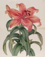 The image shows an upright, funnel-shaped flower, petals orange-red.  Botanical Register f.38, 1839.