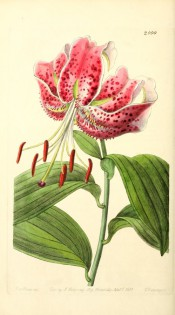 Figured are lance-shaped leaves and a pink lily with darker, raised spots and reflexed petals.  Botanical Register f.2000, 1837.