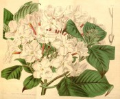 Figured are oblong, pointed leaves and terminal corymb of pale pink flowers.  Curtis's Botanical Magazine t.4132, 1845.