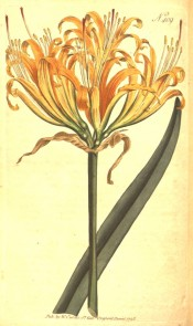 Shown are a leaf and an umbel of narrow-petalled, wavy-margined yellow flowers.  Curtis's Botanical Magazine t.409, 1798.