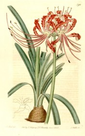 Illustrated are bulb and leaves with an umbel of narrow-petalled, wavy-margined red flowers.  Botanical Register f.596, 1822.