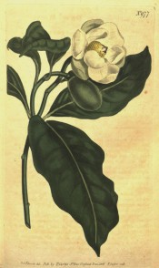 Figured are elliptic, glossy leaves and nodding, cup-shaped, creamy-white flower.  Curtis's Botanical Magazine t.977, 1806.