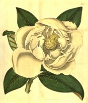 Figured are eliptic, glossy leaves and large, cup-shaped, cream coloured flower.  Curtis's Botanical Magazine t.1952, 1817.
