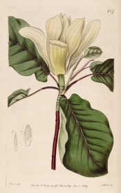 Figured are red stems, obovate leaves and large, vase-shaped creamy-white flower.  Botanical Record f.407, 1819.