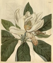Figured are elliptic leaves and a large,  open cup-shaped white flower.  Curtis's Botanical Magazine t.2164, 1820.