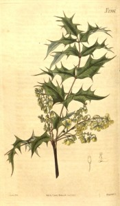 Illustrated are the holly-like leaves and terminal racemes of yellow flowers.  Curtis's Botanical Magazine t.2396, 1823.