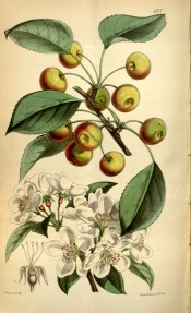 Figured are clusters of small white flowers and reddish-green cherry-like fruits.  Curtis's Botanical Magazine t.6122, 1874.