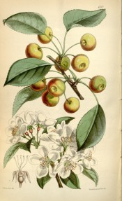 Figured is a crab apple with white blossom and yellow and red fruit. Curtis's Botanical Magazine t.6112, 1874.