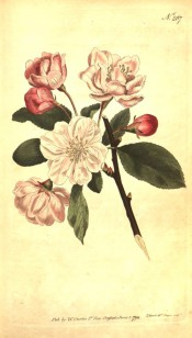 Figured are ovate leaves and semi-double, white, pink-tinged flowers.  Curtis's Botanical Magazine t.267, 1794.