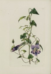 Figured is a climber with heart-shaped leaves and tubular purple flowers.  Loddiges Botanical Cabinet  no.1381, 1829.