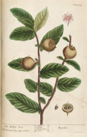 Figured are leaves, the small brown, russety fruits and red apple-blossom-like flower.  Blackwell pl.154, 1737.