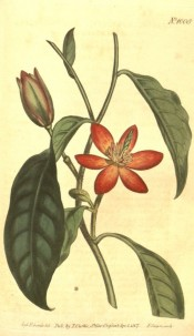 Illustrated are oval leaves and cup-shaped, yellowish flowers with red petal margins.  Curtis's Botanical Magazine t.1008, 1807.