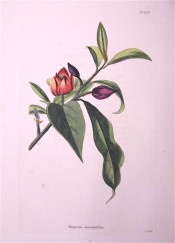 Illustrated are the large glossy leaves and reddish-purple cup-shaped flowers.  Loddiges Botanical Cabinet no.1072, 1825.