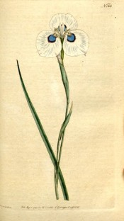 Figured is a sword-shaped leaf and iris-like white flower with prominent blue eye.  Curtis's Botanical Magazine t.168, 1791.