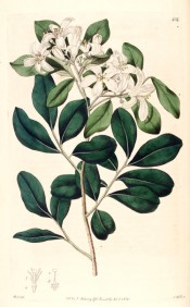 Figured are pinnate leaves and terminal corymb of pure white, star-like flowers.  Botanical Register f.434, 1820.