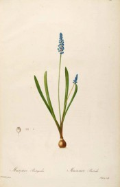 Shown are semi-erect, spoon-shaped leaves and raceme of spherical bright blue flowers. Redout? Les Liliac?es Plate 361, 1802-15.