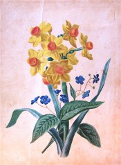 The image shows narcissus with bright yellow perianth and orange-red cup with blue Forget-me-Not.  Courtesy Pacita Alexander