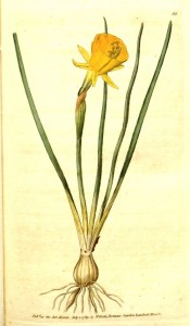 Shown are bulb, leaves and bright yellow flower with small perianth and large trumpet.  Curtis's botanical Magazine t.88, 1789.
