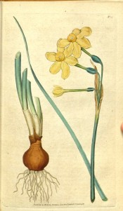 Illustrated are bulb, narrow leaf and bright yellow flower with small cup.  Curtis's Botanical Magazine t.15, 1787.