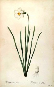 Shown are narrow leaves and flower with a white perianth and small, yellow, red-edged corolla.  Redouté L pl.160, 1802-15.