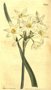 Illustrated is a narcissus with white perianth and small, pale yellow cup.  Curtis's Botanical Magazine t.1188, 1809.