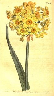 Shown are flowers with sulphur-yellow perianth segments and orange-yellow corona.  Curtis's botanical Magazine t.1026, 1807.