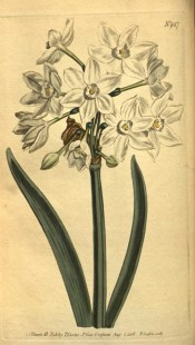 the image shows leaves and an umbel of many white flowers with small cup.  Curtis's Botanical Magazine t.947, 1806.