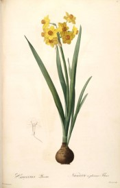Shown is multiflora narcissus with yellow perianth and orange cup + bulb and leaves.  Curtis's Botanical Magazine t.1299, 1805.
