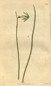 Shown are a leaf and flower with narrow, reflexed green segments and small green cup.  Curtis's Botanical Magazine t.1687, 1814.