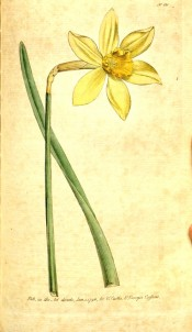 Illustrated are leaf and bright yellow daffodil with spreading perianth and medium cup. Curtis's Botanical Magazine t.121, 1790.