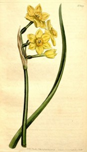 Illustrated is a narcissus with yellow perianth and deep yellow cup.  Curtis's Botanical Magazine t.1299, 1805.