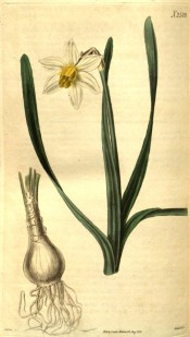 Depicted are bulb, leaves and bloom with white perianth and long yellow corona.  Curtis's Botanical Magazine t.2588, 1825.