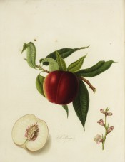 Figured is a deep red nectarine, leaves, flowers and section showing white flesh. Pomona Londinensis pl.1, 1818.