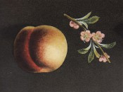 Figured is a nectarine with greenish skin, flushed muddy red, and pink flowers. Pomona Britannicus pl.34, 1812.