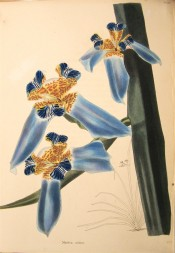 Figured is an iris-like flower with blue falls and yellow brown and blue standards.  Loddiges Botanical Cabinet no.1164, 1827.