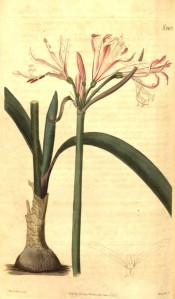 Illustrated are bulb, leaves and umbel of pale pink flowers with a red central stripe. Curtis's Botanical Magazine t.2407, 1823.