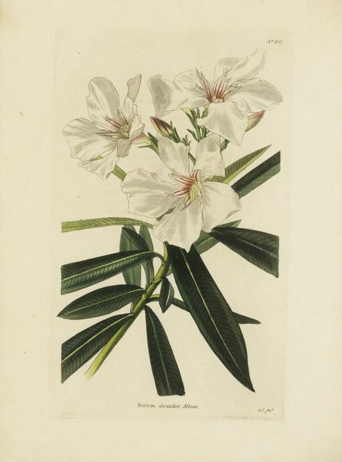 Essay on white oleander