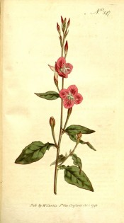 Illustrated are lance-shaped leaves and rose-coloured flowers.  Curtis's Botanical Magazine t.347, 1796.
