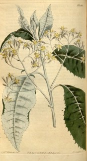 Shown are toothed, silvery leaves and terminal corymbs of creamy, daisy-like flowers.  Curtis's Botanical Magazine t.1563, 1813.